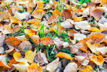 Yellow Leaves On Green Grass. ...