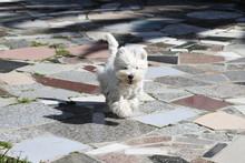 West Highlands White Terrier R...