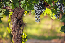 Wine Grapes On A Beautiful Old Grapevine With Colorful Vineyard Backlighting And Copy Space.