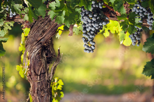 Stampa su Tela  Wine grapes on a beautiful old grapevine with colorful vineyard backlighting and copy space