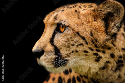 Fotografie, Obraz  Detail cheetah on black background