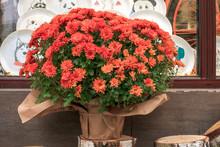 Bouquet Of Orange Chrysanthemums Flowers In Flowerpot