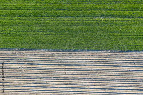 Fototapeta pola uprawne z lotu ptaka, żółty zielony młody rzepak, zborze  obraz