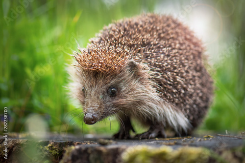 Cute common hedgehog on a stump in spring or summer forest during dawn Wallpaper Mural