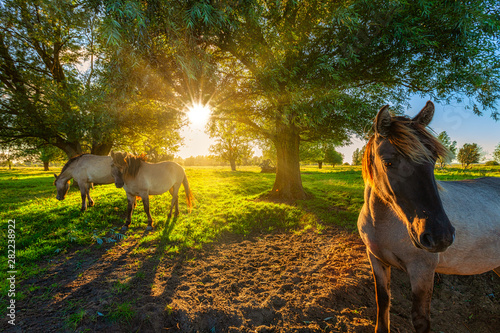 Poster Chevaux Konik horses grazing in nature in summer with bright evening sunlight on a green pasture with trees
