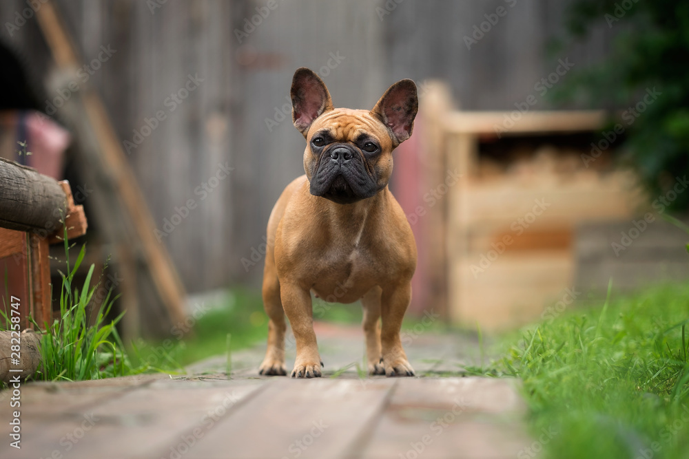 French bulldog in village views