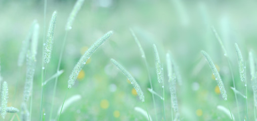 Stalks of grass in the morning dew. Light transparent summer morning atmosphere. Copy fragments.