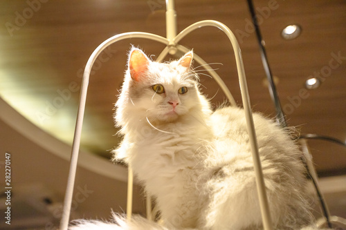 Photo Purebred white Turkish Angora cat with long fur sitting in his basket
