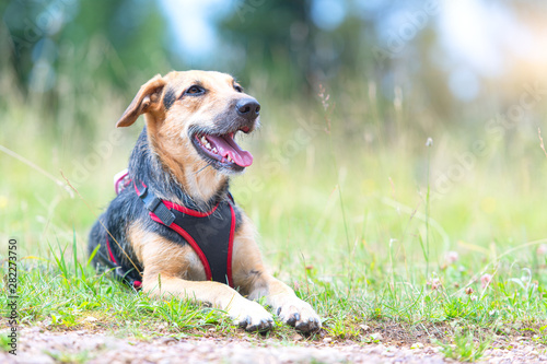 Medium-sized mongrel dog with bib resting in a mountain meadow Fototapeta