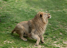 One Lion Ready To Pounce