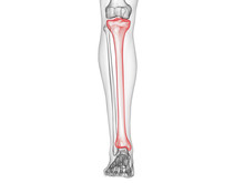 3d Rendered Medically Accurate Illustration Of The Tibia Bone