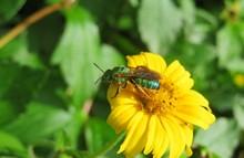 Agapostemon Green Bee