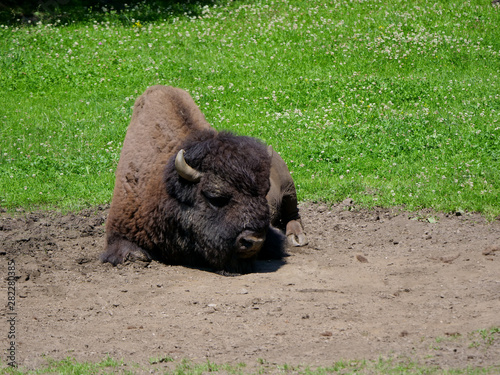 Photo American bison (Bison bison) bull in tall grass short-grass prairie, Tyrol alps,