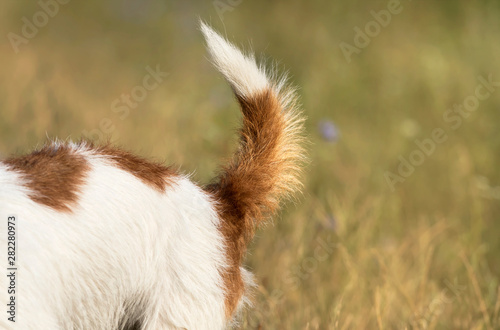 Fotomural Dog tail, backside closeup of a jack russell pet puppy