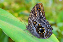 Exotic Giant Owl Butterfly Caligo On Leaf In Tropical Rainforest