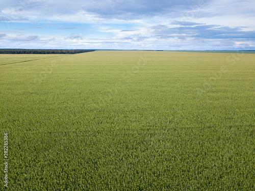 Fotografija  Beautiful aerial view of Cornfield in clear summer day