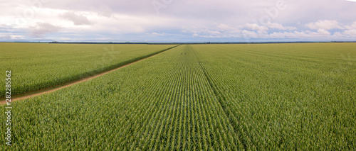 Aerial drone view of Cornfield and dirt road in clear summer day Fototapeta