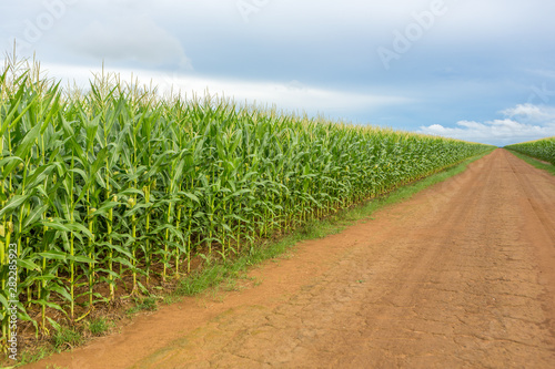 Foto  Beautiful view of Cornfield and dirt road in clear summer day