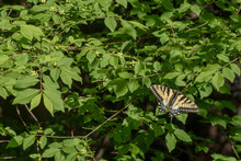 A Beautiful Yellow Eastern Tiger Swallowtail Stops For A Portrait With Wings Wide Open On A Pretty Green Leafy Bush In Missouri. Bokeh.