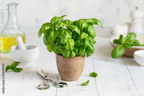 Obraz Fresh homemade basil in a pot on a white background. Home grown basil. Pesto sauce ingredients. Selective focus - fototapety do salonu