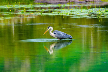 Heron Hunting For A Pray In Th...