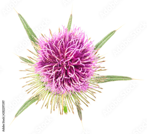 Stampa su Tela thistle flower isolated on white background