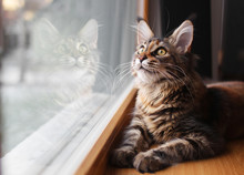 Portrait Of A Beautiful Adorable Young Maine Coon Kitten Cat Sitting On A Window Sill  With A Reflection On Glass
