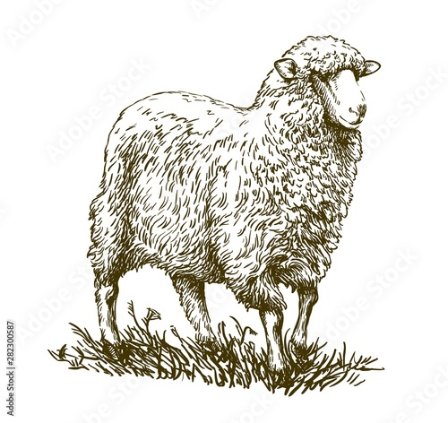 Carta da parati sketch of sheep drawn by hand. animal husbandry