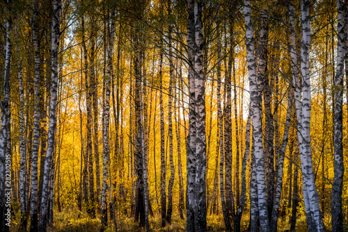 Autocollant pour porte Bosquet de bouleaux Birch forest in a sunny golden autumn day.