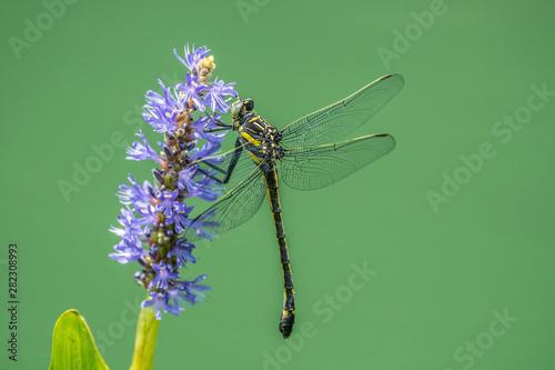 Fényképezés  Dragonfly on a water plant