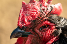Portrait Of A Black And Red Rooster. Exotic Black Rooster With A Red Scallop.