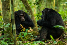 Two Chimps Sitting On The Grou...
