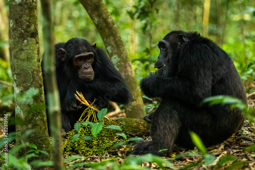 Two chimps sitting on the ground in Kibale Forest Canvas Print