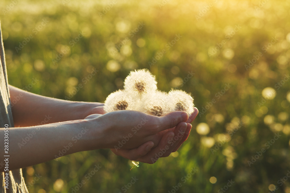 Fototapety, obrazy: young female hand holding  beautiful fluffy white fresh fragile dandelion flowers, copy space