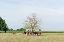 During The Heat Wave, The Cows...