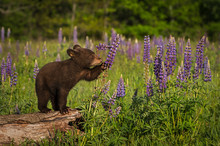 Black Bear Cub (Ursus American...