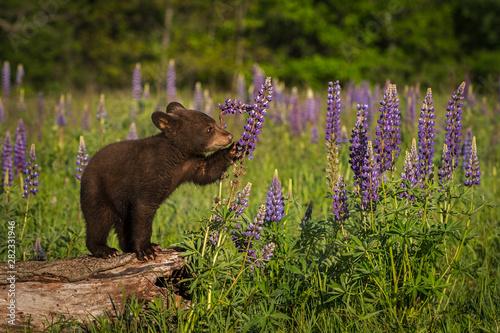 Black Bear Cub (Ursus americanus) Paws at Lupine Summer Canvas-taulu