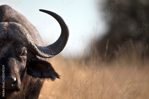 Spoed Fotobehang Buffel Portrait of african cape buffalo