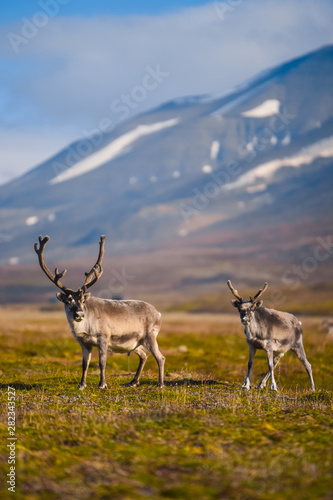 Landscape with wild reindeer Wallpaper Mural