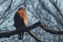 Close-Up Of Red-Shouldered Hawk