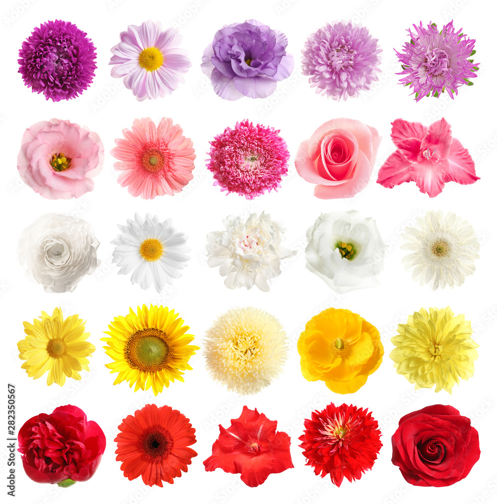 Fototapety, obrazy: Set of different beautiful flowers on white background