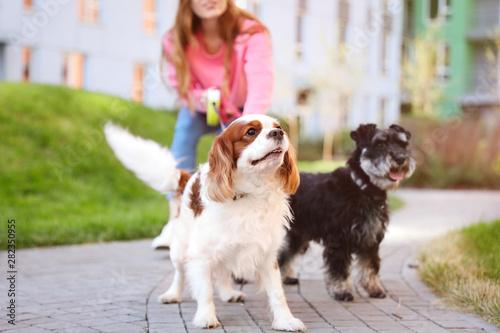 Valokuvatapetti Woman walking Miniature Schnauzer and Cavalier King Charles Spaniel dogs in park