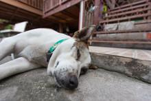 Close Up  Sleeping Dog On The ...