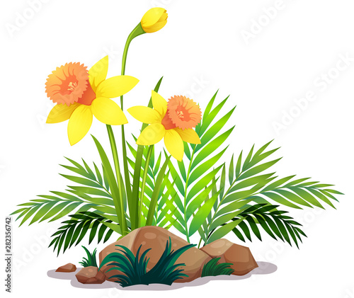 Yellow daffodils and ferns on white background