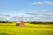 A Crumbling Faded Old Red Wooden Barn Surrounded By A Yellow Flowering Canola Crop And A Forest Of Trees In A Sunny Summer Afternoon Landscape