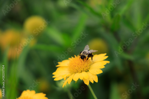 Yellow Gaillardia, blanket flower with bee close-up
