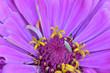 canvas print picture - Pink Zinnia Florets 01