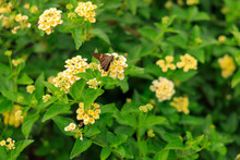 Butterfly On Yellow Lantana Flowers