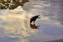 A Crow In The Puddle