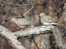 Pair Of Mourning Dove Birds On...